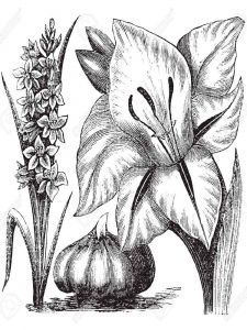 Gladiolus-flower-coloring-pages-3