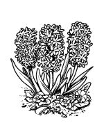 Hyacinth-coloring-pages-12
