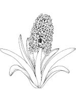 Hyacinth-flower-coloring-pages-9