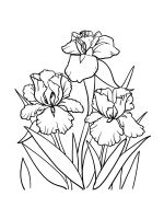 Iris-coloring-pages-22