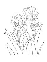Iris-coloring-pages-25