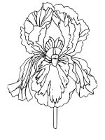 Iris-flower-coloring-pages-1