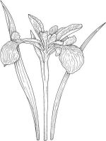 Iris-flower-coloring-pages-11