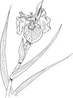 Iris-flower-coloring-pages-12