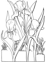 Iris-flower-coloring-pages-5