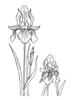 Iris-flower-coloring-pages-7