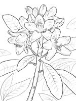 Laurel-flower-coloring-pages-2
