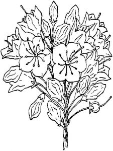 Laurel-flower-coloring-pages-4