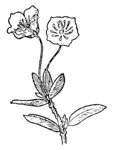 Laurel-flower-coloring-pages-5