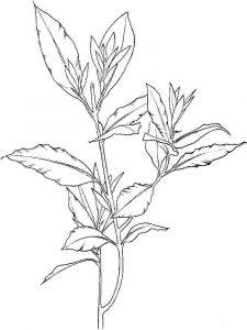 Laurel-flower-coloring-pages-7