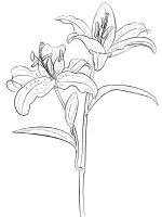 Lilies-flower-coloring-pages-14