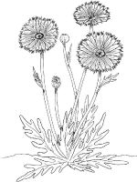 Marigolds-flower-coloring-pages-5