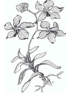 Orchid-flower-coloring-pages-4