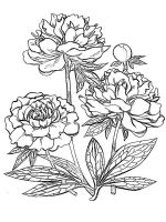 Peony-flower-coloring-pages-14