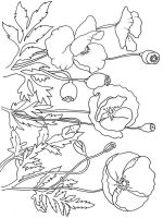 Poppy-flower-coloring-pages-2