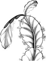 Schlumbergera-flower-coloring-pages-1