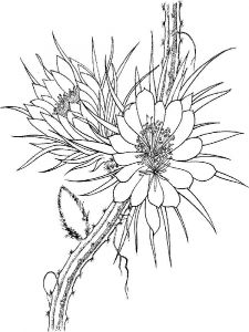Schlumbergera-flower-coloring-pages-2