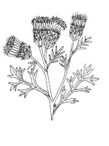 Thistle-flower-coloring-pages-1