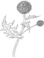Thistle-flower-coloring-pages-2