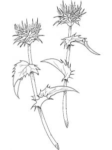Thistle-flower-coloring-pages-8