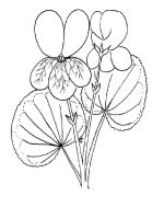 Violet-flower-coloring-pages-6