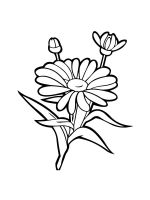 chamomile-coloring-pages-24