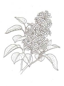 lilac-flower-coloring-pages-2