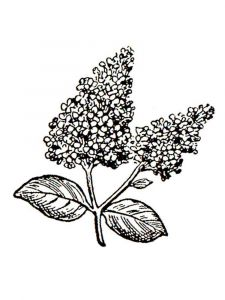 lilac-flower-coloring-pages-4