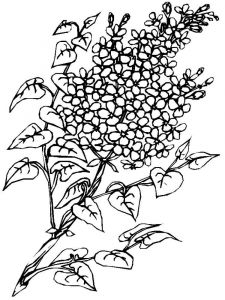 lilac-flower-coloring-pages-5