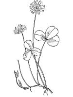 Clover-coloring-pages-14