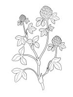 Clover-coloring-pages-4