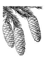 Pine-Cone-coloring-pages-2