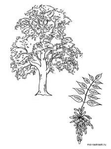ash-tree-coloring-pages-3