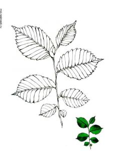 elm-tree-coloring-pages-1