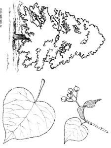 linden-tree-coloring-pages-2