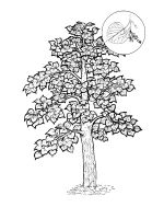 linden-tree-coloring-pages-7