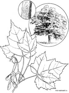 maple-tree-coloring-pages-10