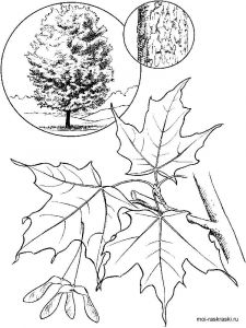 maple-tree-coloring-pages-2