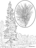pine-tree-coloring-pages-6