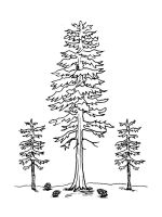 pine-tree-coloring-pages-8