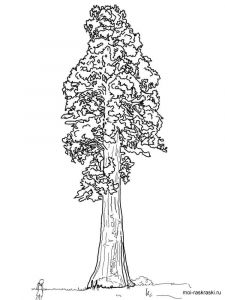sequoia-tree-coloring-pages-4
