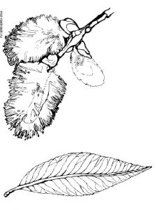 willow-tree-coloring-pages-1